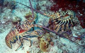 Whole Florida Spiny Lobster (by the pound)  They will Not be alive upon arrival.